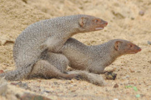 Breeding Behavior of Indian Mongoose by Dr. Pranab K. Mallick