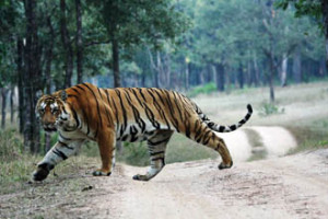 The Best Tiger Reserve in India by Team Pothik