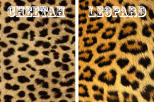 Difference between Cheetah and Leopard