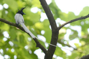 Paradise Flycatcher : Purbasthali by Pooshan Deb Mallick